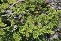 Zanthoxylum piperitum (Mount Fujiwara).jpg