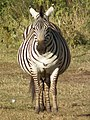 Zebras in Tanzania 3907 cropped Nevit.jpg