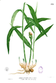 Zingiber officinale Blanco1.131.png