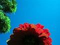 Zinnia Flowers گل آهاری 19.jpg