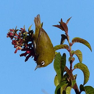 Horton Plains National Park - Sri Lanka white-eye