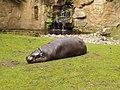Zwergflusspferd berlin 082004.jpg