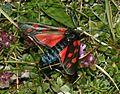 Zygaena filipendulae (Six-spotted burnet) - Flickr - S. Rae.jpg