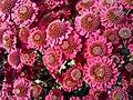 """""""бал хризантем"""" в Нікітському ботанічному саді, 5.jpg"""