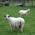 """What do you mean, mint sauce"" - geograph.org.uk - 566149.jpg"