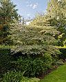 'Cornus alternifolia Argentea' Capel Manor College Gardens Enfield London England.jpg