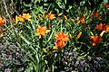 'Hemerocallis Prime Minister' in Walled Garden of Parham House West Sussex England 2.jpg