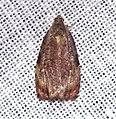 (捲葉蛾) Tortricidae sp. (13.IV.2014) (15214629847).jpg