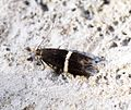 (0844) Syncopacma larseniella - Flickr - Bennyboymothman.jpg