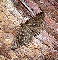 (1940) Satin Beauty (Deileptenia ribeata) (35827005961).jpg