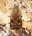 (2107) Large Yellow Underwing (Noctua pronuba) (27345491430).jpg