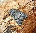 (2279) The Sycamore (Acronicta aceris) (28395760975).jpg