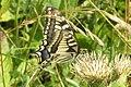 (Continental) Swallowtail (Lermoos) (15497112470).jpg