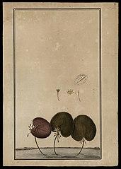 (Limnanthemum humboldtianum, Griseb)