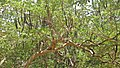 (Phanera variegata) Orchid tree Pods in Kambalakonda.jpg