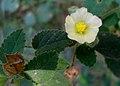 (Sida cordifolia) at Kambalakonda Wildlife Sanctuary 04.JPG