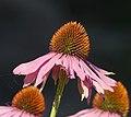 Échinacée pourpre (Echinacea purpurea) (2).jpg