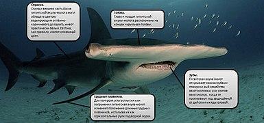 Гигантская акула-молот.jpg