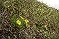 Горицвіт весняний (Adonis vernalis), заказник Джулайка.jpg