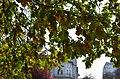 Дуб звичайний у парку Танкістів. Фото 2.jpg