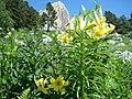 Кавказская лилия.jpg