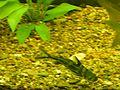 Косатка-скрипун в аквариуме ф5.JPG