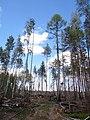 Остатки архангельских лесов - panoramio.jpg