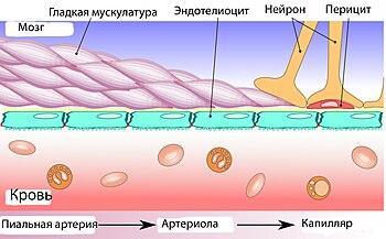 Гематоэнцефалический барьер - Вики