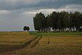 Пшеничное поле в заказнике.jpg
