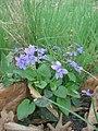 Фіа́лка лісова́ (Viola reichenbachiana) у ботанічному саду ЖНАЕУ.jpg