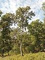 Цер, Средна гора 3.jpg
