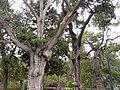 宮柏 Cypress Trees in the Forbidden City - panoramio.jpg