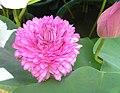 牡丹荷-重瓣 Nelumbo nucifera 'Peony Double' -香港公園 Hong Kong Park- (12360105043).jpg