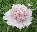 牡丹-趙粉 Paeonia suffruticosa 'Zhao Pink' -洛陽國家牡丹園 Luoyang, China- (12516908465).jpg