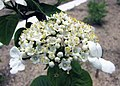 瓊花 Viburnum macrocephalum f keteleeri -比利時 Ghent University Botanical Garden, Belgium- (9962391784).jpg