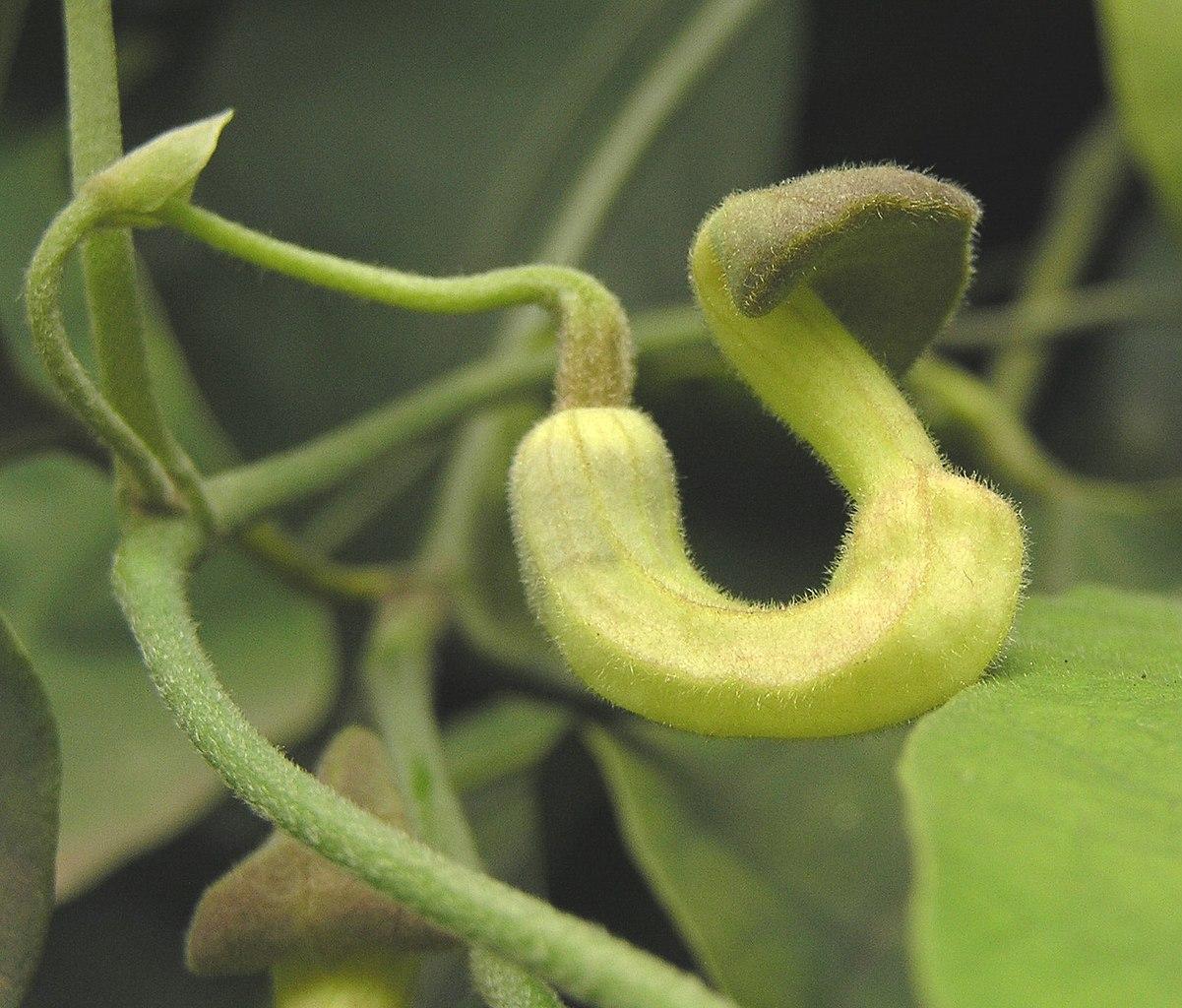Tình yêu cây cỏ ĐV2 - Page 3 1201px-%E7%93%9C%E8%91%89%E9%A6%AC%E5%85%9C%E9%88%B4_Aristolochia_cucurbitifolia_-%E5%8F%B0%E5%8C%97%E6%A4%8D%E7%89%A9%E5%9C%92_Taipei_Botanical_Garden-_%289216096416%29