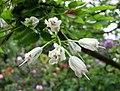 省沽油屬 Staphylea colchica -比利時 Leuven Botanical Garden, Belgium- (9229786912).jpg