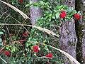 紅子莢蒾 Viburnum formosanum - panoramio.jpg