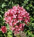 紅纈草 Centranthus ruber -奧地利維也納 Vienna Türkenschanzpark, Austria- (27790270352).jpg