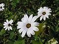 綢緞花 Dimorphotheca sinuata -北京植物園 Beijing Botanical Garden, China- (9240229224).jpg