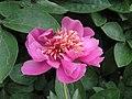 芍藥-繡紅袍 Paeonia lactiflora 'Embroidered Red Gown' -上海植物園 Shanghai Botanical Garden- (12403895393).jpg