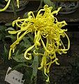 菊花-金絲萬縷 Chrysanthemum morifolium 'Ten Thousand Gold Threads' -香港雲泉仙館 Ping Che, Hong Kong- (12099006565).jpg
