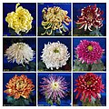 菊花 Chrysanthemum morifolium Cultivars 11 -上海松江方塔園 Song Jiang, Shanghai- (12116177256).jpg