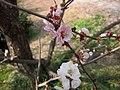 跳枝梅 Armeniaca mume f versicolor -南京梅花山 Nanjing, China- (33055912750).jpg