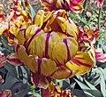 鬱金香-晚生重瓣型 Tulipa Golden Nizza -武漢植物園 Wuhan Botanical Garden- (9252406889).jpg