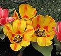 鬱金香 Tulipa gesneriana -香港花展 Hong Kong Flower Show- (9255261738).jpg