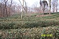 龙王山茶园 - panoramio.jpg