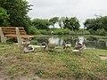 -2020-06-10 Greylag Goose (Anser anser), Paston village pond, Norfolk (4).JPG
