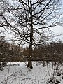 -2021-02-12 Oak tree in Bourne Wood, Bourne, Lincolnshire.jpg