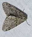 - 6659 – Phigalia denticulata – Toothed Phigalia Moth (16181078730).jpg